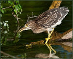 Title: Nycticorax nycticorax juvenile