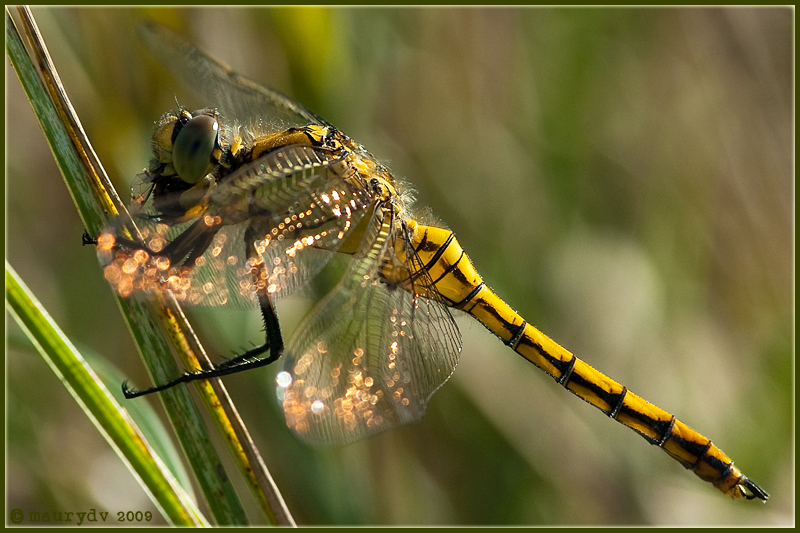 Orthetrum cancellatum young male