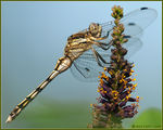 Title: Orthetrum albistylum (young) female