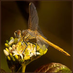 Title: Sympetrum fonscolombii female