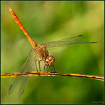 Title: Sympetrum meridionale male