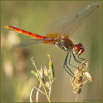 Title: Sympetrum fonscolombii male