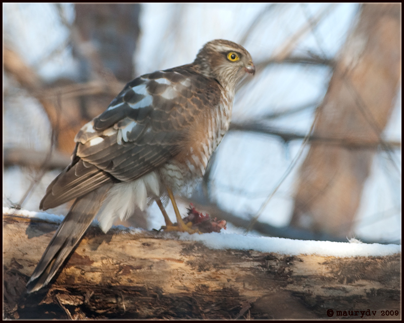 Accipiter nisus young male