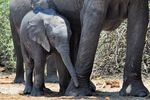 Title: Elephant calf under close protection