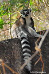 Title: Lemur catta 2Nikon D200 with MB-200