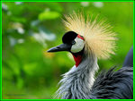 Title: Crested crane