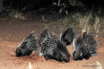 Title: African Porcupines