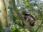 Title: Red Colobus