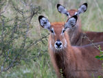Title: Waterbuck (female)