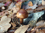 Title: A brown mashroom