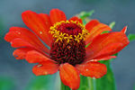 Title: Red zinnia