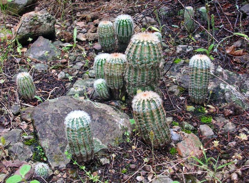 Prickly family