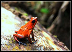 Title: Strawberry Poison-dart Frog