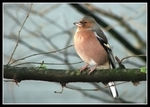 Title: Chaffinch (repost)