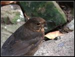 Title: Female BlackbirdCanon EOS 7D