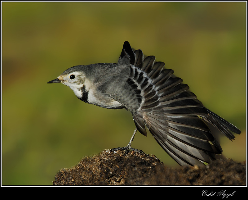 White Wagtail-02