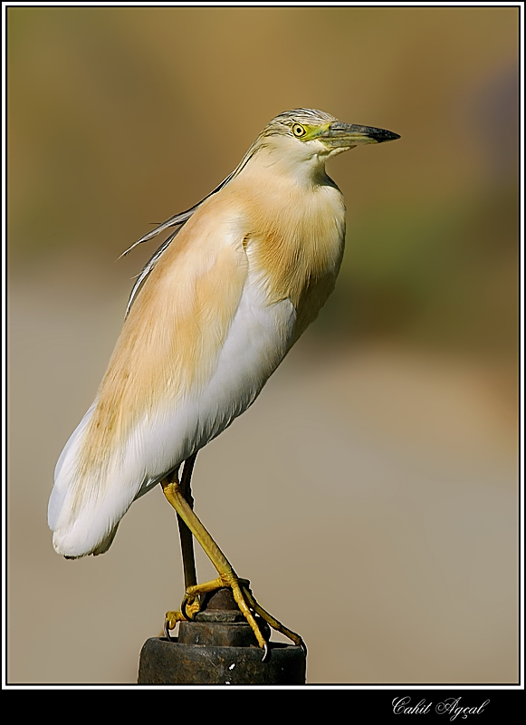 Squacco Heron-4 (Top Model)