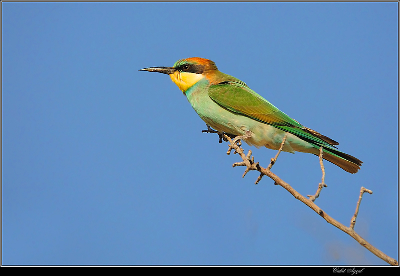Bee-Eater-4