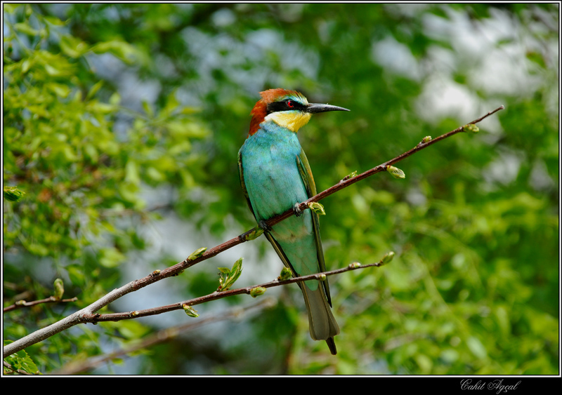 Bee Eater-3