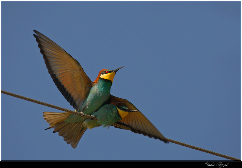 Bee-eater-2