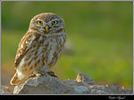 Title: Little Owl