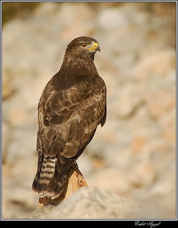 Common Buzzard 2