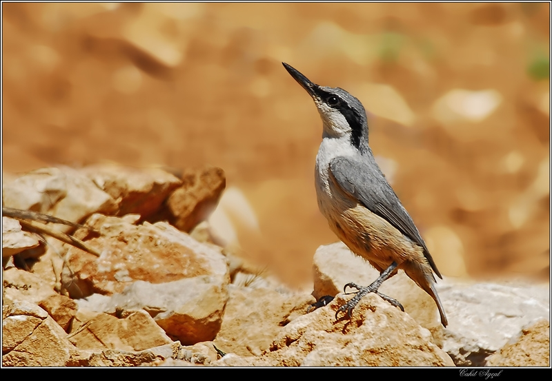 Rock Nuthatch