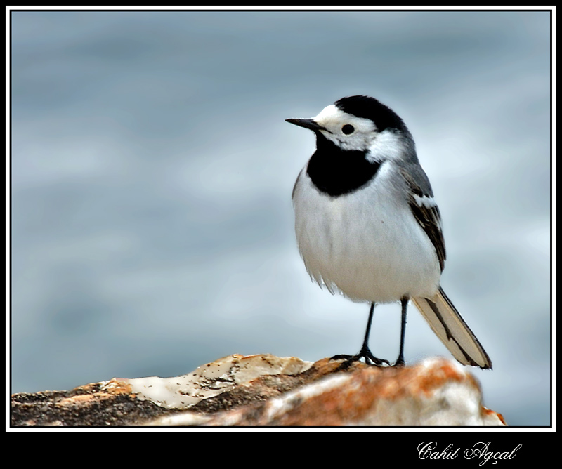 White Wagtails-01