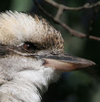 Title: Laughing Kookaburra 2