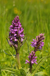 Title: Spotted marsh orchid