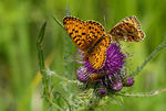 Title: Silver-bordered Fritillary