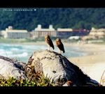 Title: Owls of Florianopolis