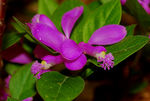Title: Fringed Polygala
