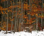 Title: Fall Deer