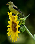 Title: Goldfinch on Sunflower