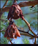 Title: Epauletted Fruit Bat