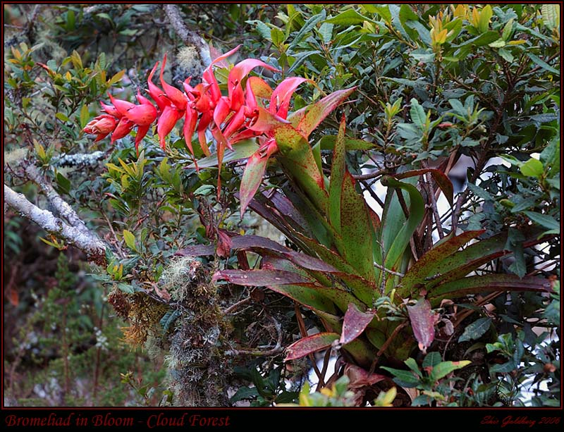 Bromeliad in Bloom - Cloud Forest