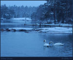 Title: Winter Swans