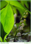 Title: Lily of the Valley