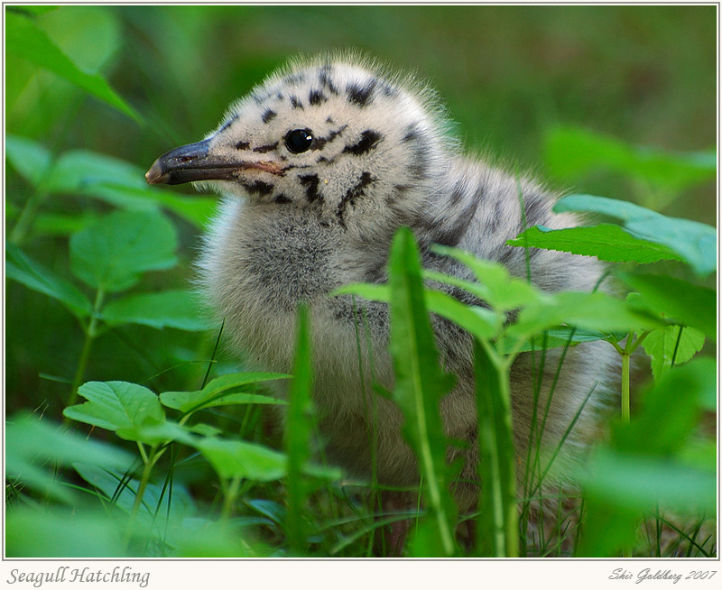 Seagull Hatchling