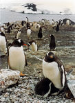 Title: Gentoo Colony