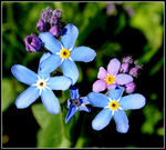 Title: Forget-me-nots