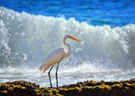 Title: Great White Egret