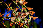 Title: Monarch Butterfly Block Party