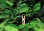 Title: Golden Orb Spider (Nephila sp) - ThanksNikon D80