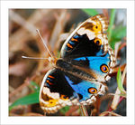 Title: Male Blue Pansy