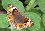 Title: Junonia orithya wallacei (Female)