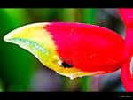 Title: ants, fly and heliconia