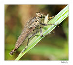 Title: Robber-fly feeding