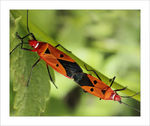 Title: Copulating Red Cotton Bug